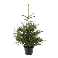 Blue Spruce 2-3ft (80-100cm) Real Potted Christmas Tree - PRE ORDER