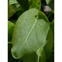 Broadleaf Sorrel 9cm Herb Pot
