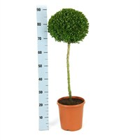 Buxus Ball On Stem Ball On Stem - 25cm
