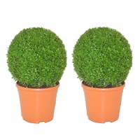 Buxus Ball Specimen Shrub 26cm Pot - Set of 2