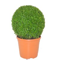 Buxus Ball Specimen Shrub 26cm Pot