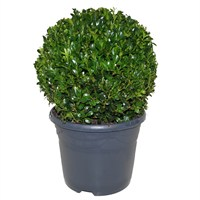 Buxus In Anthracite Pot Ball - 25CM - 28CM