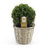 Buxus In Rattan Basket Ball - 20cm