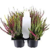 Calluna Vulgaris Duo Coloured Full Bodied Heather Set with Carry Handle - 6 x 9cm Pots