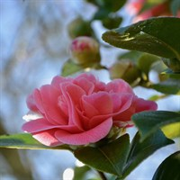 Camelia 'Dr King' Pink Specimen Shrub in a 28cm Pot