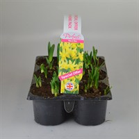 Carry Home Pack - Narcissus Tete A Tete - 6 x 10.5cm Pot Bedding