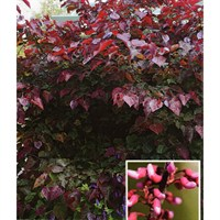 Cercis 'Canadensis Forest Pansy' Tree