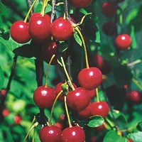 Cherry 'Morello'