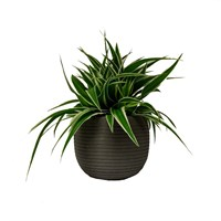Chlorophytum In Grey Stone Effect Round Pot
