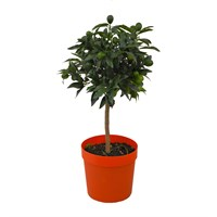 Christmas Calamondin Citrus Mitis Mini Orange In 21cm Pot Houseplant Gift