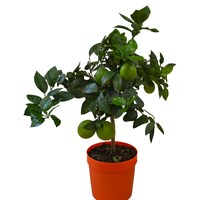 Christmas Citrus Sinensis In 21cm Pot Houseplant Gift