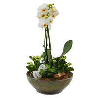 Christmas Double Stemmed White Phalaenopsis Orchid In Glass Bowl Houseplant Gift