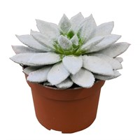 Christmas Echiveria Frosty White In 10.5cm Pot Houseplant Gift
