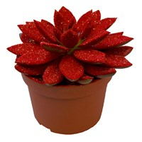 Christmas Echiveria Sparkling Red In 10.5cm Pot Houseplant Gift