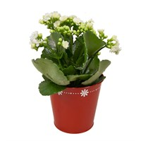 Christmas Glitter Kalanchoe White In Red Festive Pot Houseplant Gift