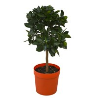 Christmas Kumquat Citrus Fortunella Marginata In 21cm Pot Houseplant Gift