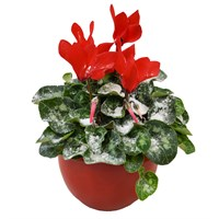 Christmas Red Cyclamen In Red Ceramic Pot With Artificial Snow Houseplant Gift