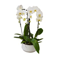 Christmas White Cascade Phalaenopsis Orchid Arrangement In White Ceramic Bowl Houseplant Gift