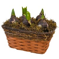 Wicker Basket 2 Toned Bulb Planted Arrangement - Medium