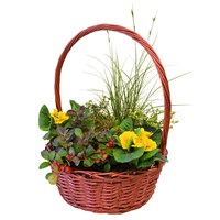 Wicker Basket Winter Mixed Plant Arrangement - Large