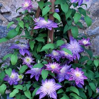 Clematis Crystal Fountain (Evipo038) 3 Litre Climber Plant