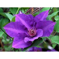Clematis The President 3 Litre Climber Plant