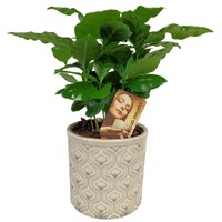 Coffee Arabica Plant in Burgon & Ball Ceramic Pot Gift Set