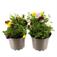 Cool Wave Spreading & Trailing Pansy Mixed Colour 2L Pot Bedding - Set of 4