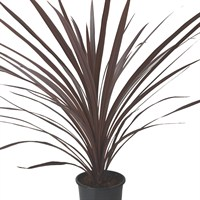 Cordyline Australis Red Shrub - 17cm Pot