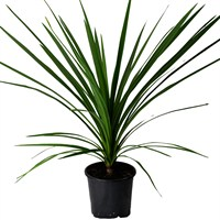 Cordyline Australis Verde (Green) Shrub - 17cm Pot