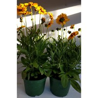 Coreopsis Grandiflora Corey Yellow/Red in a 2lt Perennial Pot - Set of 2