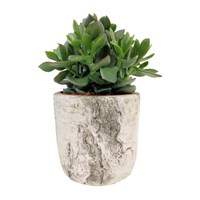 Crassula Money Plant in Stone Burgon & Ball 'Nordoc' Pot Gift Set