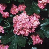 Crataegus 'Rosea Flore Pleno' Tree