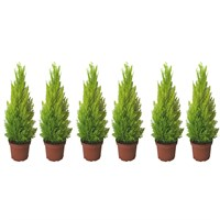 Cupressus Macrocarpa Goldcrest Lemon Scented Conifer Shrub 10.5cm Pot - Set of 6