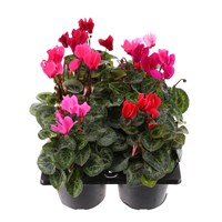 Cyclamen F1 Miracle Mixed 6 Pack with Carry Handle - 6 x 10.5cm pots