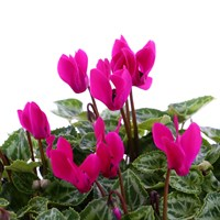 Cyclamen Violet 6 Pack Boxed Bedding