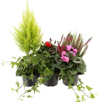 Cyclamen Hanging Basket/Container Set with Carry Handle - 6 x 10.5cm Pots