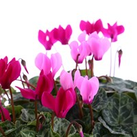 Cyclamen Miracle Mixed 6 Pack Boxed Bedding