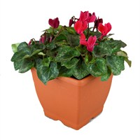 Cyclamen Planted Terrace Pot Plant Arrangement - 22cm