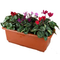 Cyclamen Planted Trough Plant Arrangement - 40cm