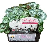 Cyclamen White 6 Pack Boxed Bedding