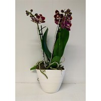 Dark Pink Mini Orchid Set Into White Oval Ceramic Boat