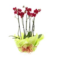 Orchid Dark Pink (Phalaenopsis) Double Stem Houseplant In Black Plastic Boat Gift Wrapped- 60 to 70cm