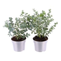 Eucalyptus Gunnii Set of 2 in 10.5cm Pot