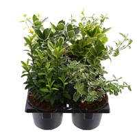 Euonymus Selection 6 Pack with Carry Handle - 6 x 9cm Pots