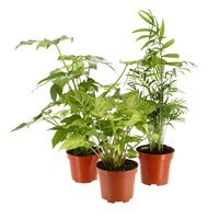 Fatsia Indoor Houseplants - Set of 3