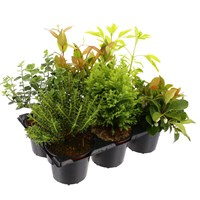 Garden Mix Winter Hardy Shrubs with Carry Handle - 6 x 9cm Pots