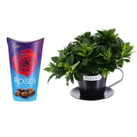 Gardenia In Cup Houseplant & Chocolate Gift Set - Black