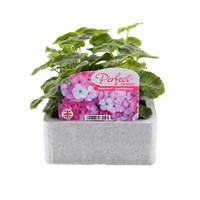 Geranium Appleblossom 6 Pack Boxed Bedding