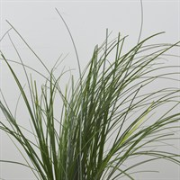 Greenery Beargrass (x 1 Bunch)